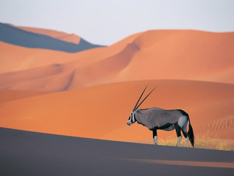 Oryx_Antelope.jpg